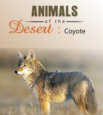 Desert: Coyote